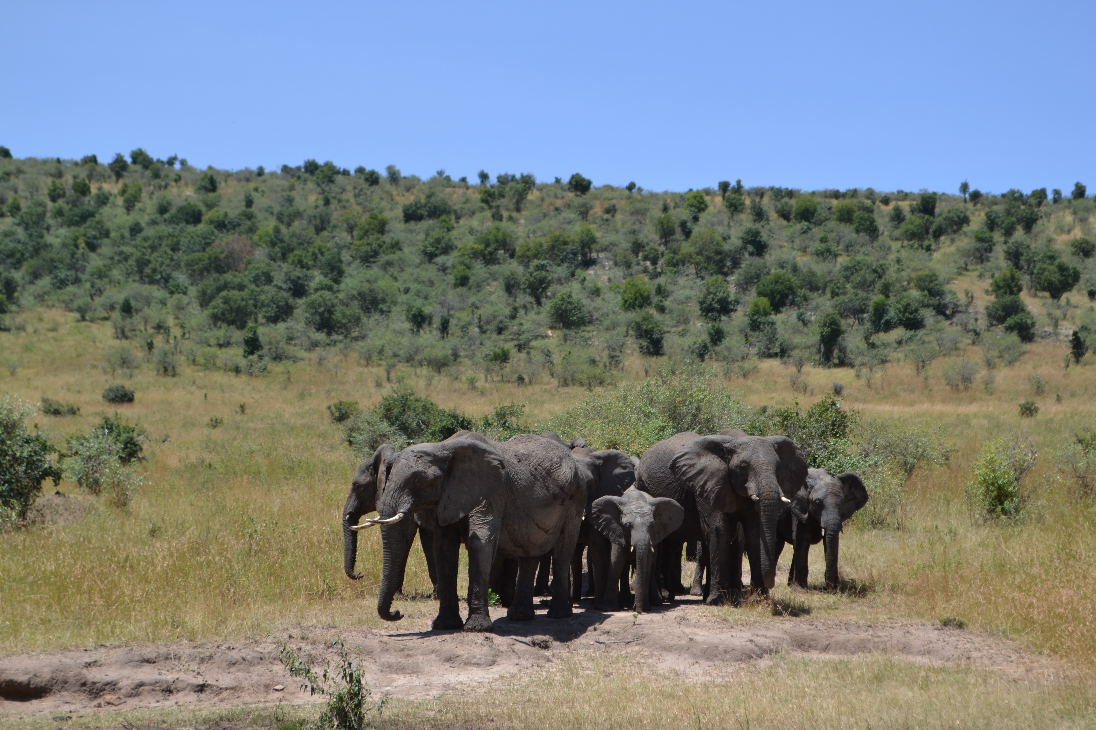 Elephants Protect the Herd